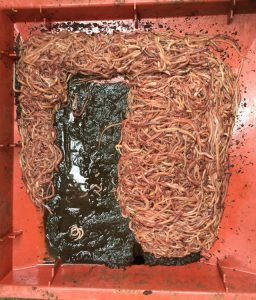 Worms trying to escape via bottom tray due to overfeeding